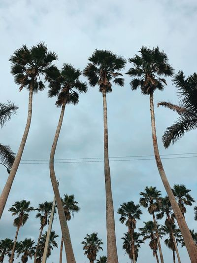 Tree Palm Tree Tree Trunk Low Angle View Sky Tall - High Nature
