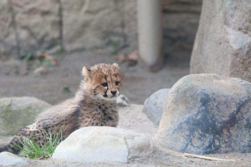 Zoo Cheetah Big