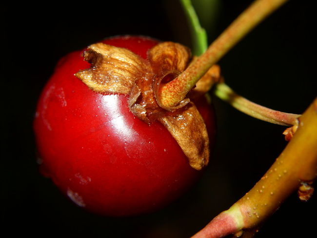 Sour Cherry Black Background Close-up Day Food Food And Drink Freshness Fruit Healthy Eating Indoors  Nature No People Red