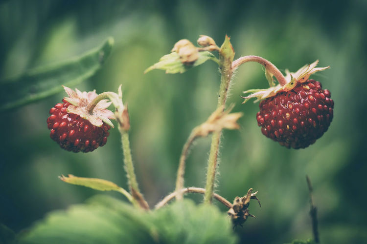 Close-up of strawberries growing in garden