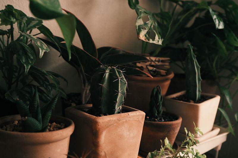 cactus in room. Cactus Cactus Garden Cactuslover Cactus Collection Cactusplants Cactus Paradise Plant Herb Potted Plant Indoors  Alternative Medicine Marijuana - Herbal Cannabis No People Nature Leaf Close-up Greenhouse Day