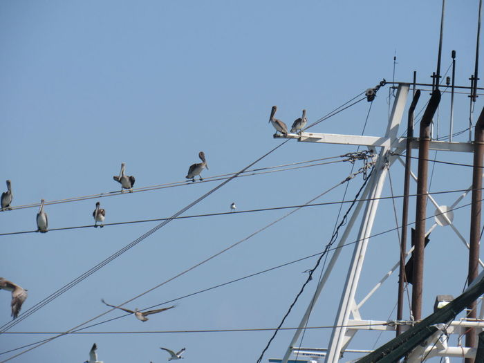 Birds on a Wire Animal Themes Animals In The Wild Blue Cable Clear Sky Connection Day Gathering Place High Section Low Angle View Perching Power Line  Power Supply Zoology