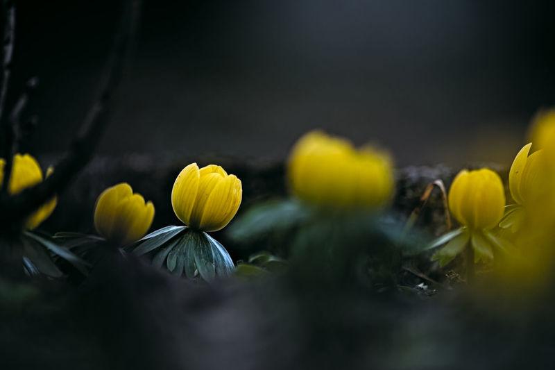Wiosna Flower