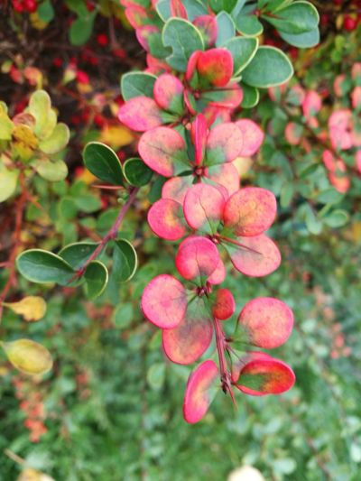 Cotoneaster Growth Plant Nature Outdoors Fruit Leaf Pink Color Close-up Freshness Focus On Foreground Green Color No People Food And Drink Beauty In Nature Branch Tree