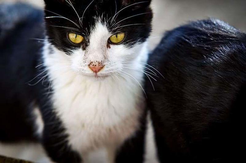 Portrait No People Cat Cute Cute Cat Cute♡ Cute Cat 😻 Cute Kitten Cute Cat.  Miauuu 😺 Black And White Cat Black And White Cat Portrait My Cat My Cat😺🐈