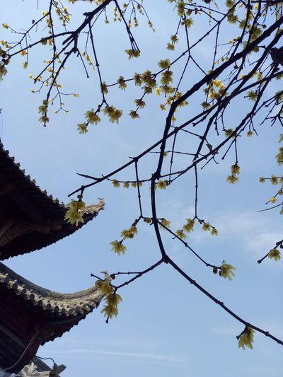腊梅 中式建筑 Bkue Sky Sun