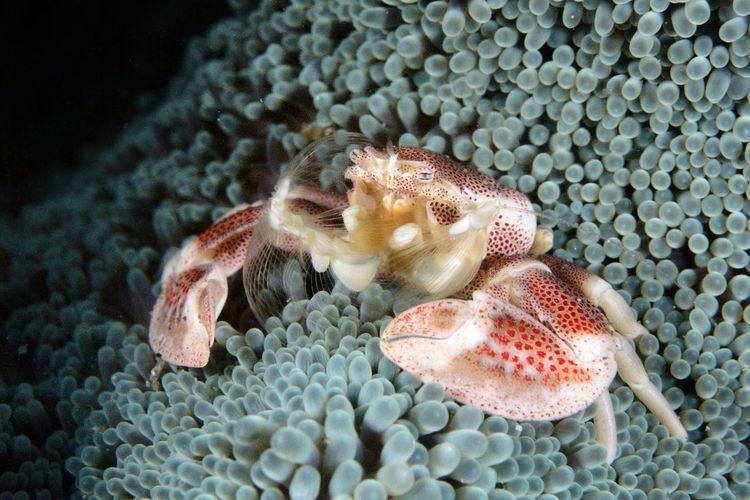 Porcelain Crab Animal Animal Themes Animal Wildlife Animals In The Wild Underwater Sea Life One Animal Sea Marine Water Vertebrate Nature No People Close-up Fish Swimming Invertebrate Pebble Coral UnderSea