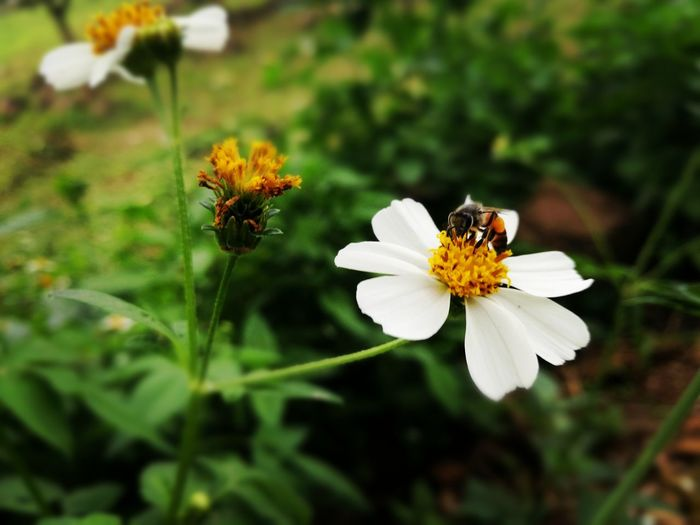 Flower Bee ผึ้งน้อย ผึ้ง ดอกไม้ (Flower) ดอกไม้ ดอกไม้สีขาว ธรรมชาติ Animals In The Wild One Animal Animal Wildlife Plant Close-up Beauty In Nature Nature No People