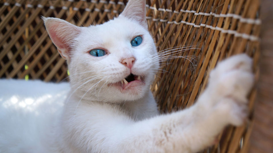 Animal Head  Animal Themes Cat Claw Domestic Animals Domestic Cat Feline Looking At Camera Mammal One Animal Open Mouth Pets Portrait Reaching Scratch Whisker White Cat Wicker Wicker Beach Chair