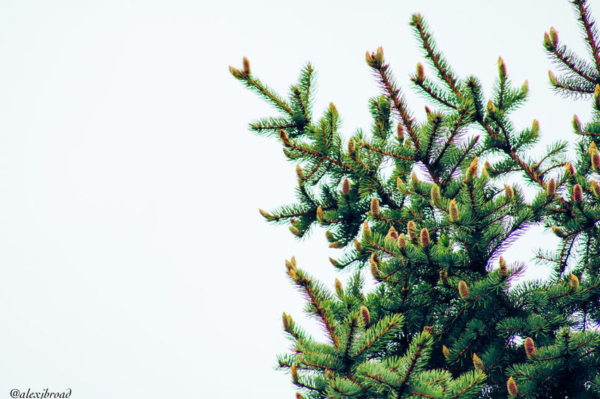 Fir Beauty In Nature Clear Sky Close-up Day Freshness Green Color Growth Low Angle View Nature Nature Nature On Your Doorstep Nature Photography Nature_collection Nature_perfection Naturelovers Naturephotography Nautical Vessel Needle No People Outdoors Plant Sky Tree