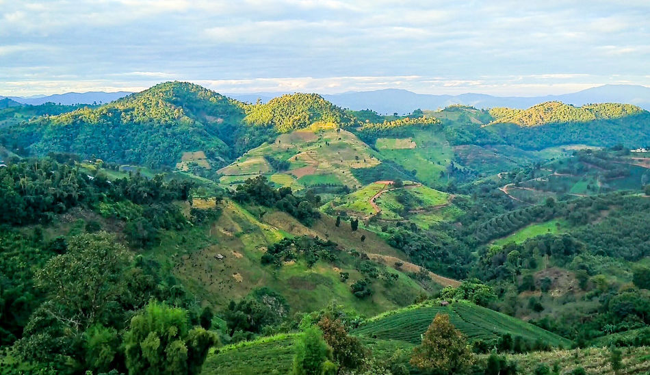 Doi Mae Salong - Thailand Mae Salong Thailand Beauty In Nature Cloud - Sky Day Environment Foliage Green Color Land Landscape Lush Foliage Mountain Mountain Range Nature No People Non-urban Scene Outdoors Plant Plantation Rolling Landscape Scenics - Nature Sky Tranquil Scene Tranquility Tree