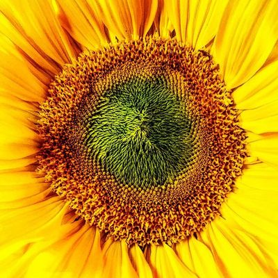 If I were a flower I recon I would like to be a sunflower. Little_munchkin_patch_Childcare