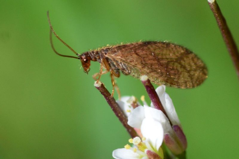 lacewing Macro