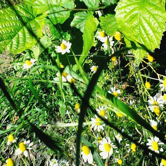 Musetel Camomile Flowers Eyeem Market Wolfzuachis May2016 Green Plants Romanian  Mybackyard @wolfzuachis Camomille Nature
