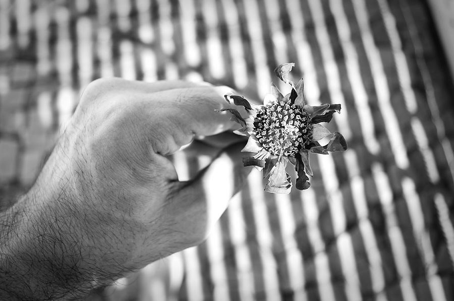 Blackandwhite Day Flower Head Focus On Foreground Holding Human Body Part Human Hand Light And Shadow Outdoors The City Light Wilted Flower