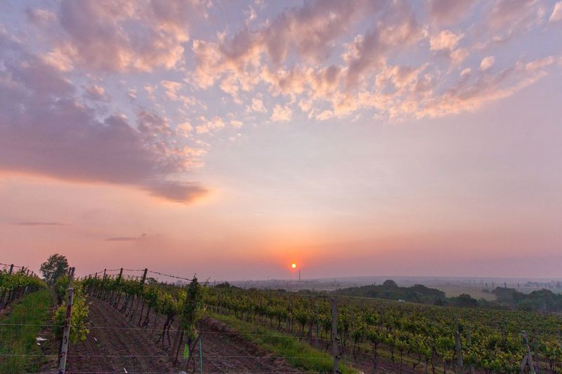 Sunset Tranquility Scene Sky Landscape Field Beauty In Nature Vineyard Agriculture Rural Scene Nature Clouds Idyllic Plant Horizon Over Land Outdoor Grass Dramatic Sky
