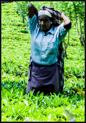 Hard work in the tea plantation. If you like my photos I would be happy if you follow me just here or on: Google+: https://plus.google.com/u/0/103702436975865939579 Flickr: https://www.flickr.com/photos/mdmove1962/ Greetings from Berlin/Germany Micha D. mail: MOVE1962@gmx.net Agriculture Ceylon Day Fieldworker Front View Green Color Growth Hardwork Men Micha D. MOVE1962 Nature One Person Outdoors People Plant Plantation Real People Social Documentary Sri Lanka Standing Tea Travel Photography