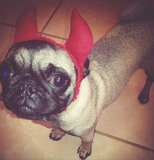 Pug Life ❤ Disfraz Diablita coco <3 tremenda!!