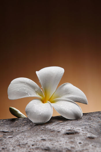 Close-up of white frangipani on table