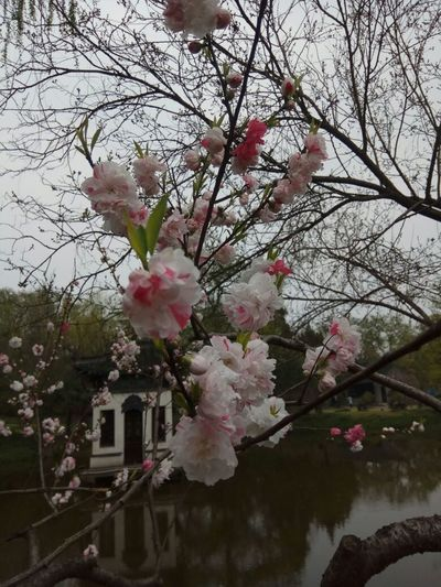 Flower Pink Color Branch Springtime Beauty In Nature Freshness Tree Blossom Fragility Growth Nature Cherry Tree Apple Blossom Low Angle View No People Day Outdoors Sky Plum Blossom Flower Head