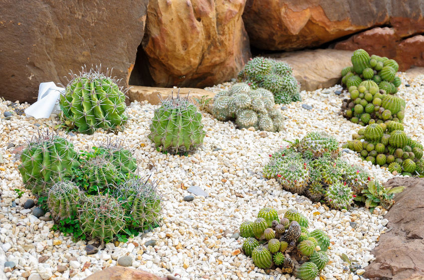 Decorative cactus in indoor garden Beauty In Nature Cactus Close-up Day Food And Drink Green Color Growth High Angle View Land Market Nature No People Outdoors Plant Rock Rock - Object Solid Spiked Succulent Plant Thorn