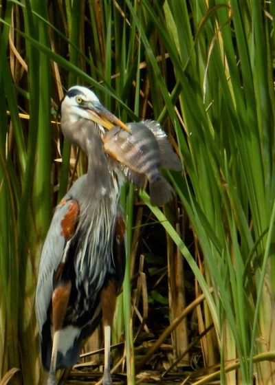 Animal Themes Animal Wildlife Animals In The Wild Big Food Bird Day Feeding  Gray Heron Greedy Heron More Than You Can Chew Nature No People One Animal Outdoors Perching