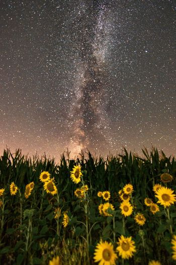 Scenic view of sunflower field against sky at night