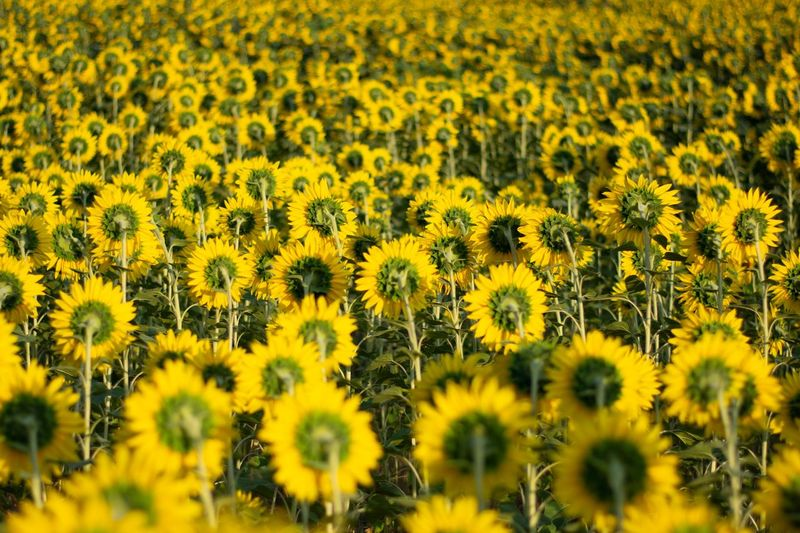Summer Yellow Flower Plant Flowering Plant Beauty In Nature Freshness Field Sunflower Agriculture Landscape Rural Scene No People Backgrounds Nature Flower Head Fragility First Eyeem Photo