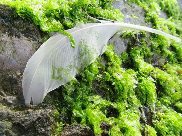 Seagull feather amongst the seaweed Plant Water Outdoors Nature Day Green Color Beauty In Nature Tranquility Stone Material Scenics Tranquil Scene Curve Land Feature Non-urban Scene Seashore Seagull Feather Feather  Seaweed Mizen Peninsula Wildatlanticway Ireland