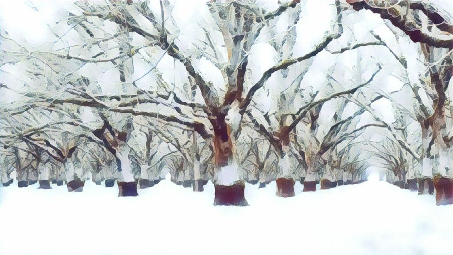whitewoods Treescape Winter Orchard Walnut Grove White Woods Tree Snow Cold Temperature Bare Tree Branch Winter Sky Snow Covered Lone Cold Foggy White Blizzard Snowcapped Weather