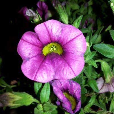 Flower SamsungGalaxyMega