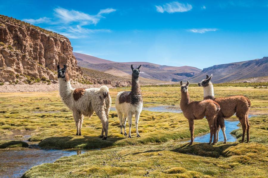Llamas in Andes mountains Bolivia Andes Andes Llam Inca Llama Llama Peru
