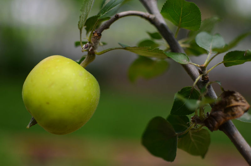 Apple Beauty In Nature Branch Close-up Day Focus On Foreground Food Food And Drink Freshness Fruit Granny Smith Apple Green Color Healthy Eating Nature No People Outdoors Tree Water