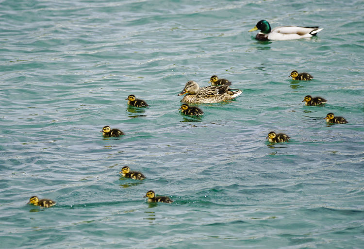 Mallard ducks with ducklings swimming on lake
