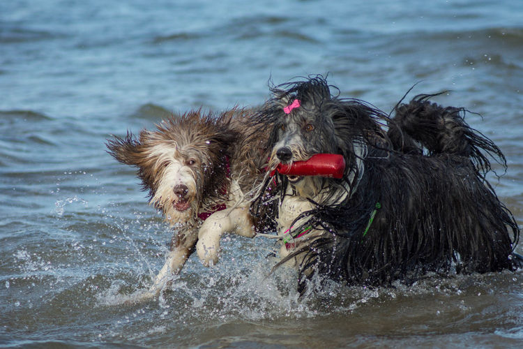 Bearded Collie Dog Dogs Humans Best Friend Nature Water Sea