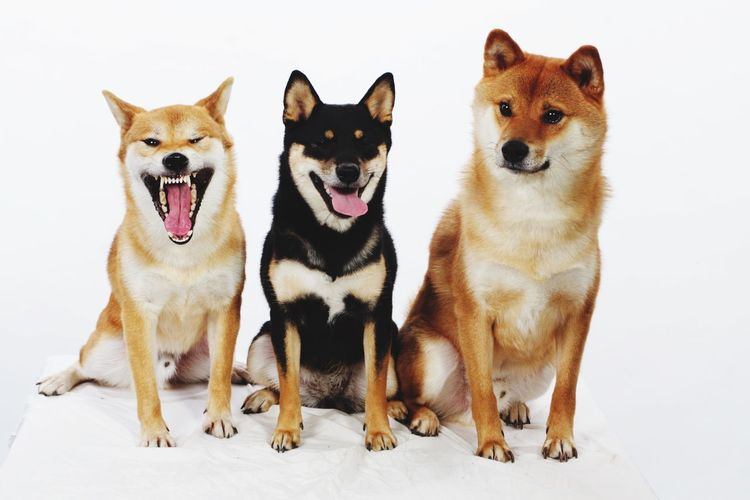 Shiba Inu Shiba Inu Shiba Dog Pets Domestic Animals Pembroke Welsh Corgi Mammal Animal Themes Sitting