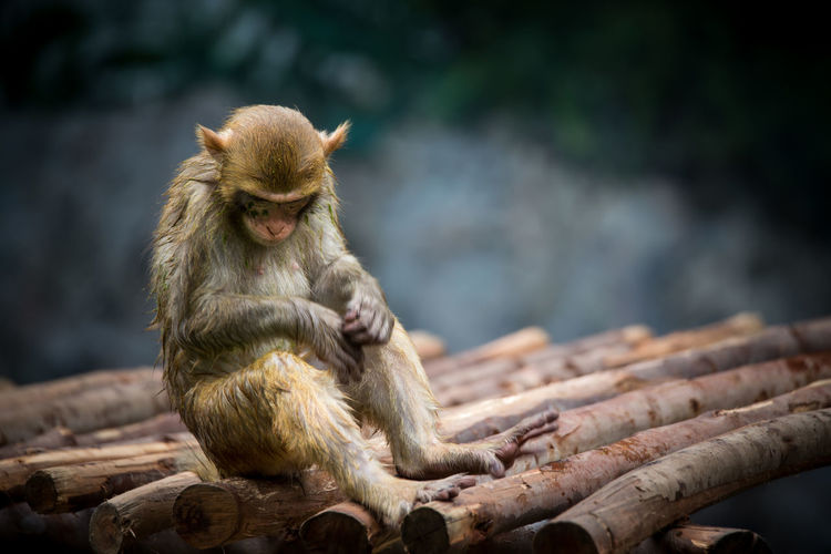 Monkey sitting on wood