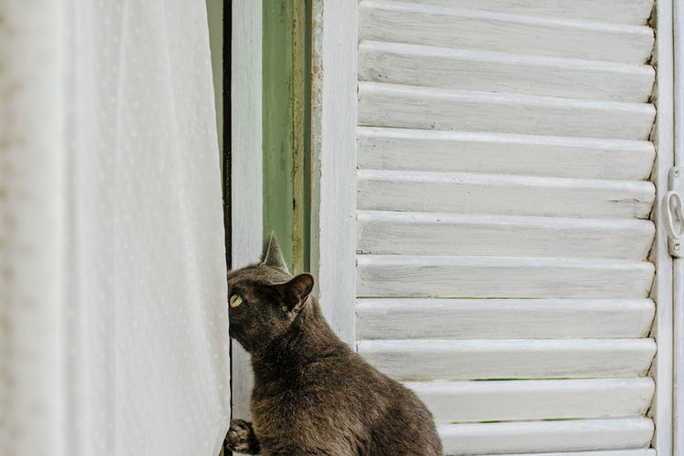 Nice silver gray cat, has fun playing with the white curtains of the house window