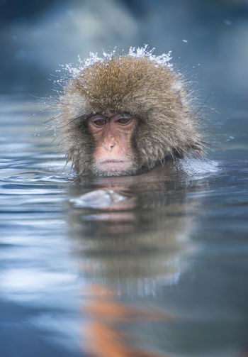 Snow monkey in a hot spring, Nagano, Japan. Animal Animal Head  Animal Themes Animal Wildlife Animals In The Wild Cold Temperature Hair Hot Spring Japanese Macaque Lake Looking At Camera Mammal Monkey No People One Animal Portrait Primate Reflection Vertebrate Water Waterfront