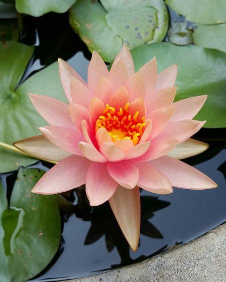 Lutus Lotus