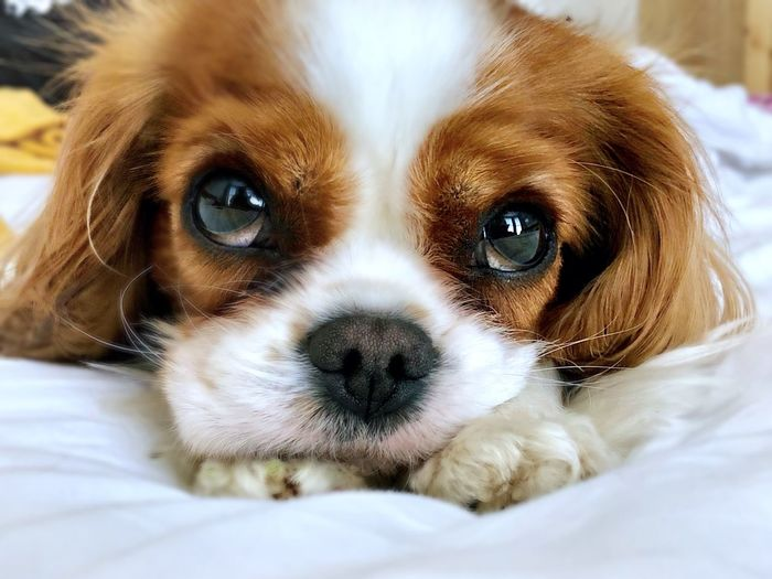 Puppy Eyes- King Charles Cavalier Sad Eyes King Charles Cavalier Spaniel King Charles Cavalier EyeEm Selects Dog Canine Mammal Animal Themes One Animal Pets Animal Domestic Looking At Camera Close-up No People Lap Dog Animal Head  Portrait Bed