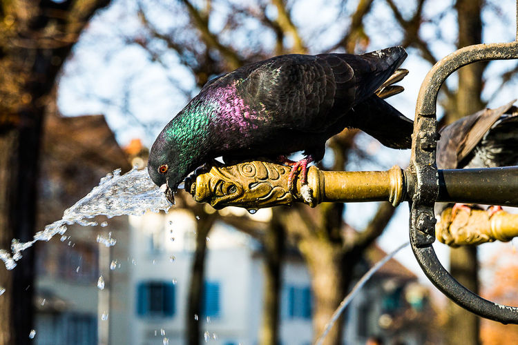 Close-Up Of Multi Colored Pigeon Drinking Fresh Water From Fountain