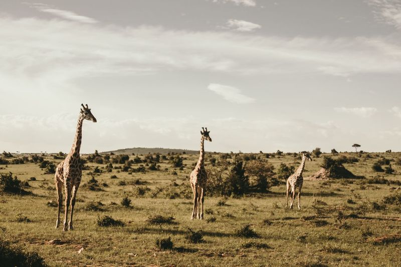 Giraffes Standing On Field Against Sky