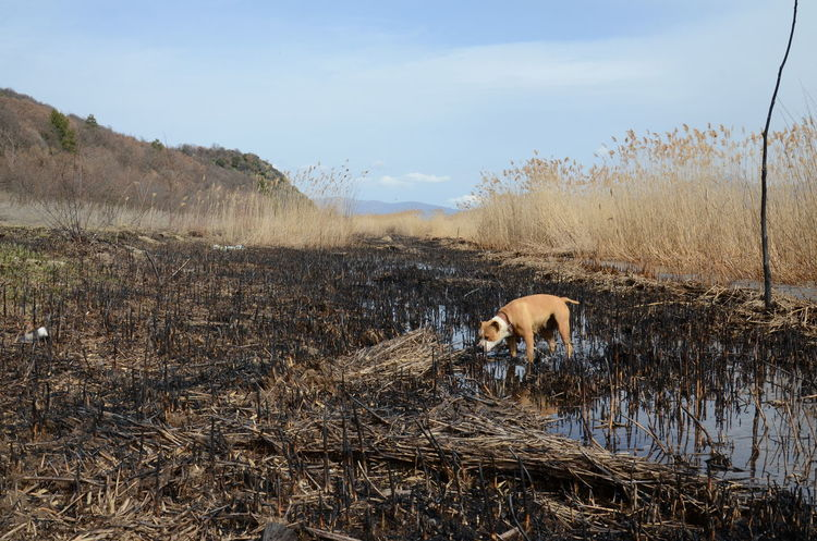 amstaff dog on a burned reed field Amstaff Amstafflove Animal Themes Beauty In Nature Burned Burned Out Burned Tree Day Dog❤ Domestic Animals Female Lake Mammal Nature No People Outdoors Pet Reed Reed - Grass Family