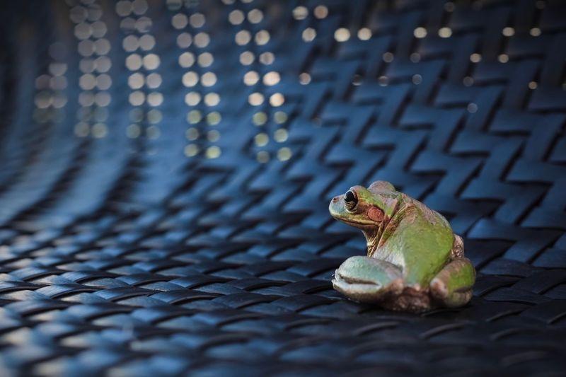 Rana cubana. Rainforest Wallpaper Backgrounds Bokeh One Animal Animal Themes Animal Wildlife Animal No People Animals In The Wild Vertebrate Close-up Amphibian Nature Frog Outdoors Pattern My Best Photo 17.62° Analogue Sound