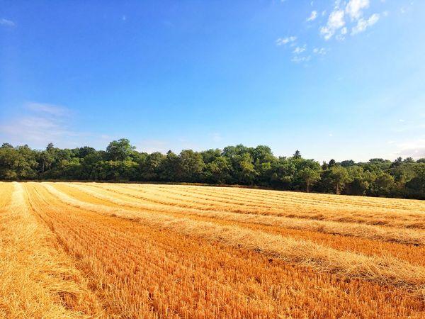 Summer fields Harvest Summer Landscape Sky Plant Field Land Tranquil Scene Agriculture Scenics - Nature