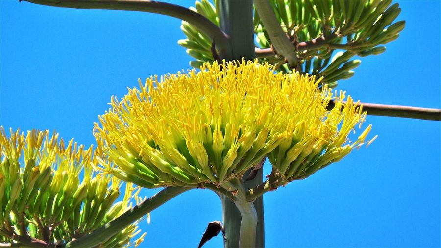 Caprera Showcase: August Agave Agave Plant Beauty In Nature Beauty In Nature Blooming Blue Clear Sky Day Flower Flower Collection Flower Head Flower Photography Flowers Flowers, Nature And Beauty Flowers_collection Fragility Freshness Growth Low Angle View Nature Plant Sky Spiny Cactus Yellow Paint The Town Yellow