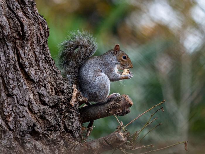 A british grey squirrel eating an acorn
