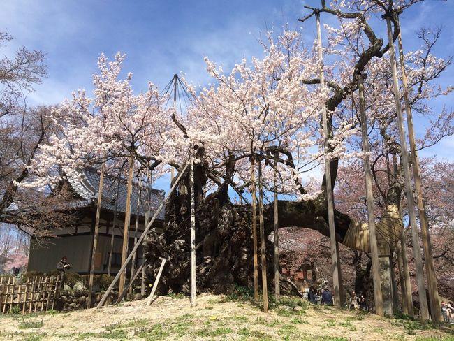 山梨 実相寺 天然記念物 山高神代桜