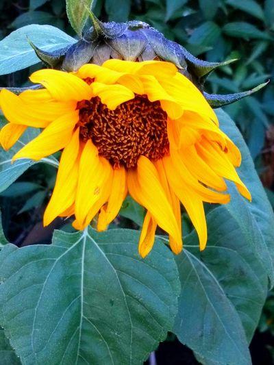 Sunflower 🌻...